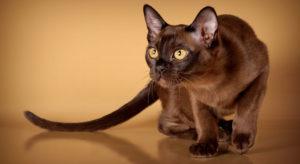 Бурманская кошка2