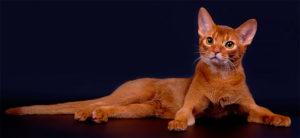 Абиссинская кошка (ABY)