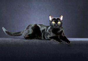 Австралийская бомбейская кошка (ABM)