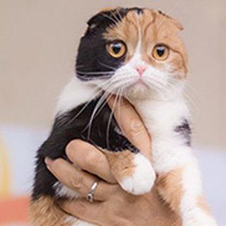 Кошка калико