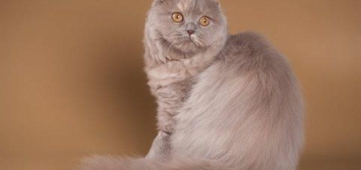 Кошка Cat-like Kiss Ashka