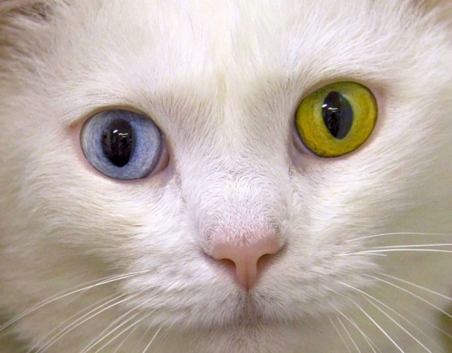 Гетерохромия кошек