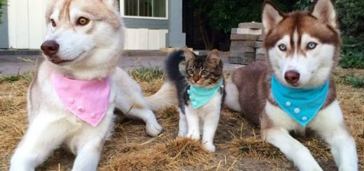 Котенок и Хаски