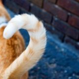 Пять интересных фактов о кошачьем хвосте